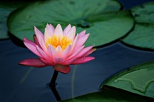 lily_pad_lotus_flower